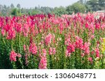 colorful flower of snapdragon... | Shutterstock . vector #1306048771
