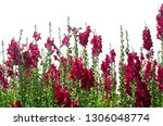 colorful flower of snapdragon... | Shutterstock . vector #1306048774