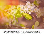spring is a blooming cherry...   Shutterstock . vector #1306079551