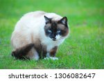 siamese snowshoe cat | Shutterstock . vector #1306082647