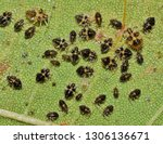 a batch of tiny lace bugs ... | Shutterstock . vector #1306136671