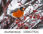 A Robin Rests On A Snowy Branc...