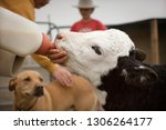 Young Calf Being Fed With A...