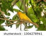 yellow finch gathering spanish... | Shutterstock . vector #1306278961