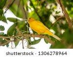 yellow finch gathering spanish... | Shutterstock . vector #1306278964