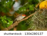 orange faced finch sitting on a ... | Shutterstock . vector #1306280137