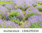 lavender field in summer.... | Shutterstock . vector #1306290334