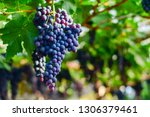 close up of bunches of ripe red ...   Shutterstock . vector #1306379461