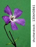 Small photo of macro close of a violet pink geranium agrostemma githago in green background and drop