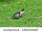 australian wood duck aka maned... | Shutterstock . vector #1306534687