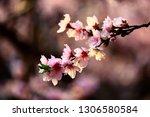 in full bloom in the peach... | Shutterstock . vector #1306580584