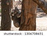 wild koalas on an eucalyptus...   Shutterstock . vector #1306708651