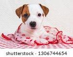funny female jack russell... | Shutterstock . vector #1306744654
