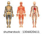 anatomical structure of the... | Shutterstock .eps vector #1306820611