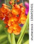 orchid flower in garden   Shutterstock . vector #1306925431