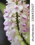 orchid flower in garden   Shutterstock . vector #1306925437