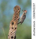 Ladderback Woodpecker Male