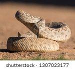 Young Diamondback Rattlesnake