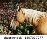 cream horse with a long white... | Shutterstock . vector #1307037277