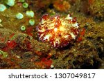 colorful nudibranch on the... | Shutterstock . vector #1307049817
