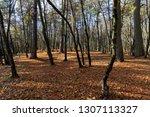 beautiful deciduous trees in... | Shutterstock . vector #1307113327