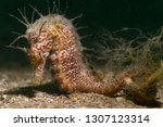 hippocampus guttulatus   long... | Shutterstock . vector #1307123314