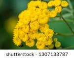 tansy tanacetum vulgare is a...   Shutterstock . vector #1307133787