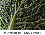 leaf of a green savoy cabbage... | Shutterstock . vector #1307149057