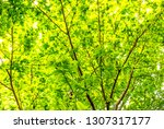 fresh green leaves and branches ... | Shutterstock . vector #1307317177