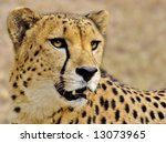 Close Up Of A Beautiful Cheetah.