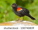 Red-winged Blackbird. Parc Des Rapides, Montreal, Quebec, Canada, North America. - stock photo