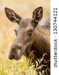 Female Western Moose  Alces...
