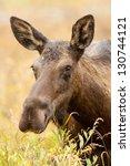 Female Western Moose  Alces...