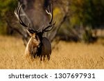 a bull elk pauses during the...