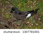Small photo of European Storm Petrel (Hydrobates pelagicus) in the breeding colony during mid August on Ouessant Island in France.