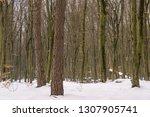 deciduous forest in winter | Shutterstock . vector #1307905741