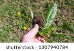 a gardener holds a recently... | Shutterstock . vector #1307940784
