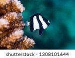 Small photo of Humbug Dascyllus (Dascyllus aruanus)
