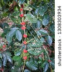 red coffee beans on a branch of ...   Shutterstock . vector #1308303934
