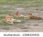 masai mara  kenya   september ... | Shutterstock . vector #1308320431