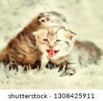 Stock photo the kitten meows shouts purebred kitten baby kitten 1308425911