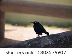 Stock photo carib grackle quiscalus lugubris standing on a wooden fence 1308579607