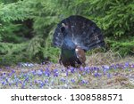 capercaillie  tetrao urogallus  ... | Shutterstock . vector #1308588571