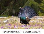 capercaillie  tetrao urogallus  ... | Shutterstock . vector #1308588574