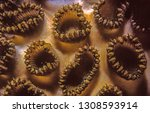 dichocoenia is a monotypic... | Shutterstock . vector #1308593914