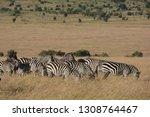 common zebra and a blue... | Shutterstock . vector #1308764467