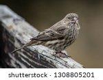 a female house finch in grass... | Shutterstock . vector #1308805201