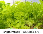 hydroponic lettuces in... | Shutterstock . vector #1308861571
