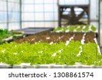 hydroponic lettuces in... | Shutterstock . vector #1308861574