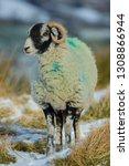 Swaledale Ewe  Female Sheep  In ...